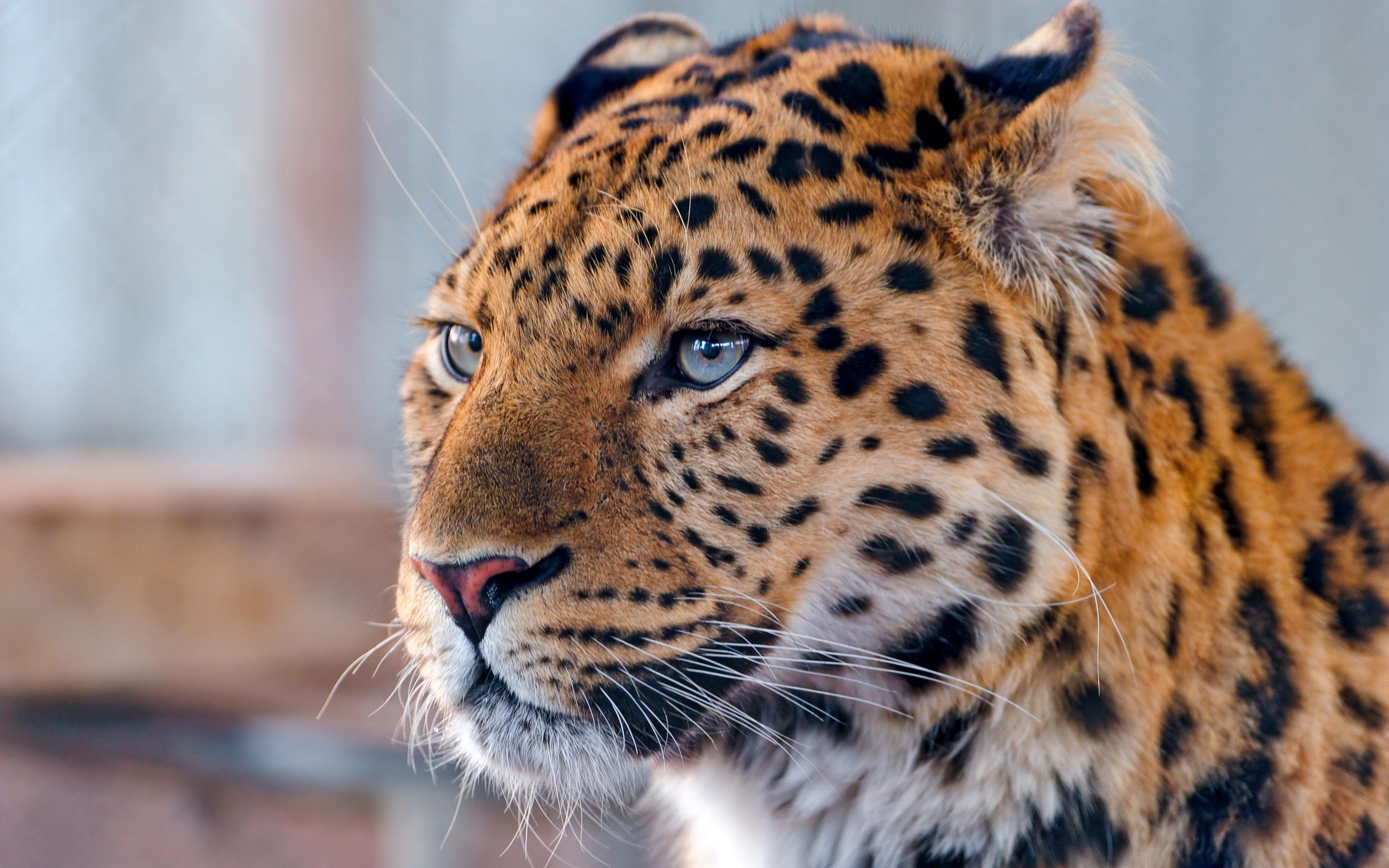 leopard image hd