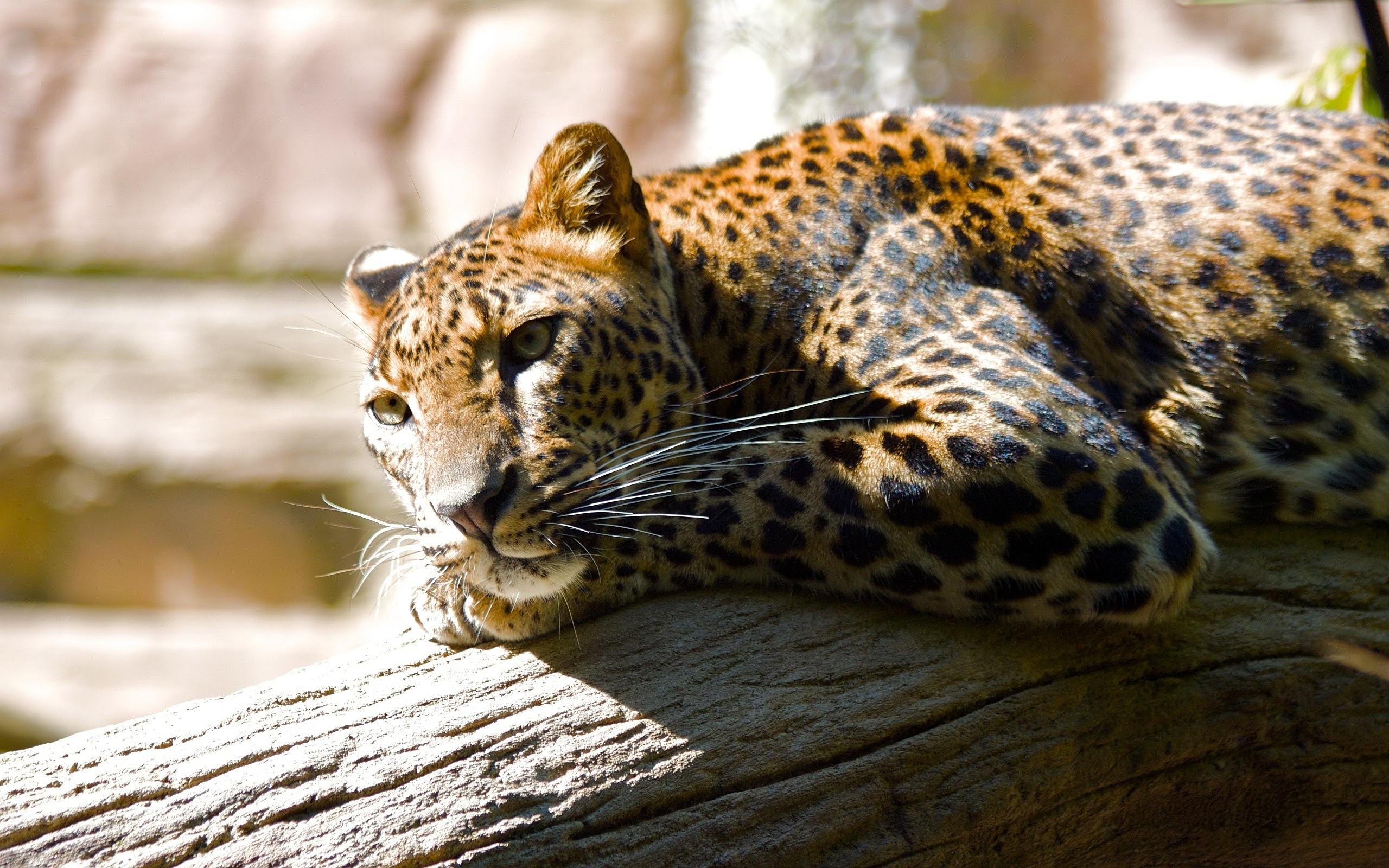 leopard images hd