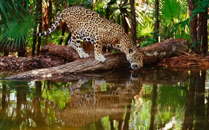 leopard photo hd