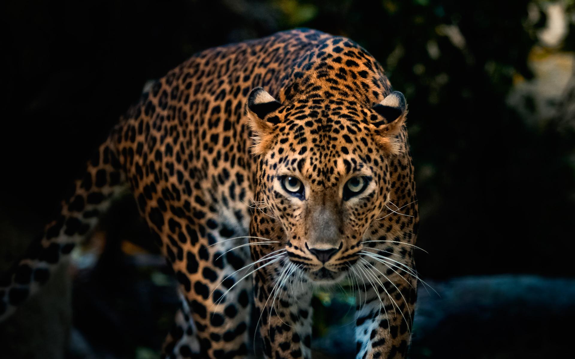 leopard photos