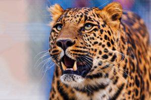 leopard pics