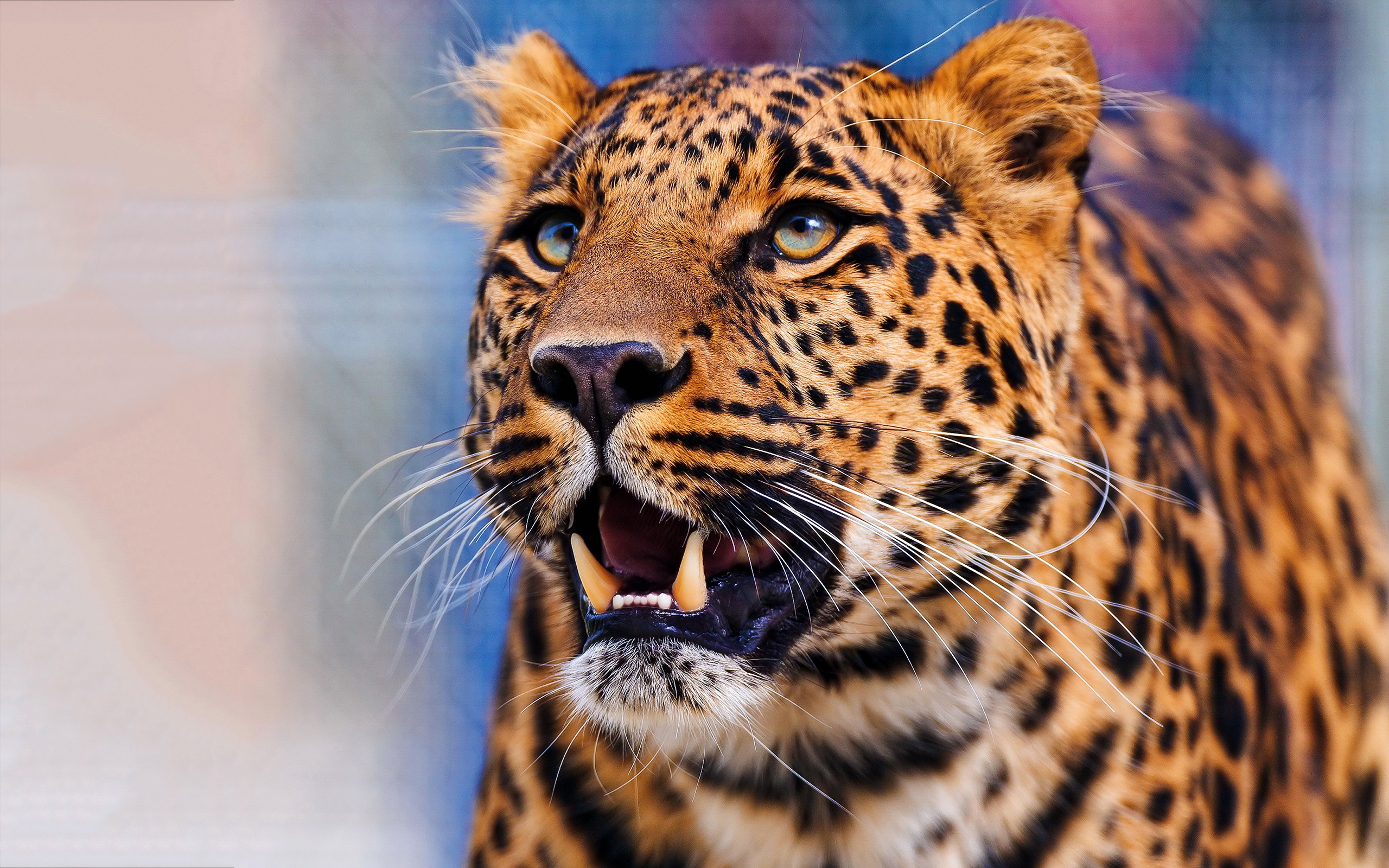 Leopard pics hd desktop wallpapers 4k hd leopard pics voltagebd Image collections