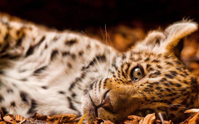 leopard picture hd