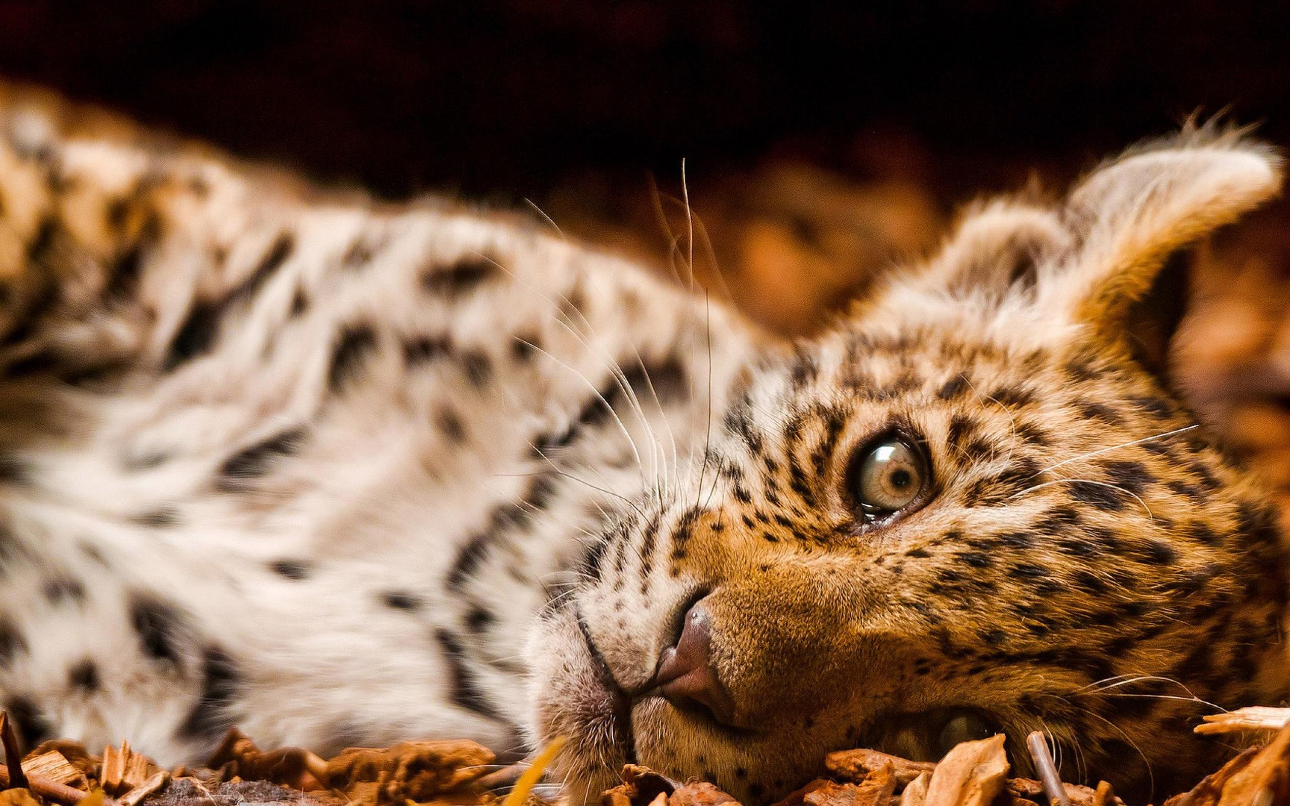 leopard picture hd