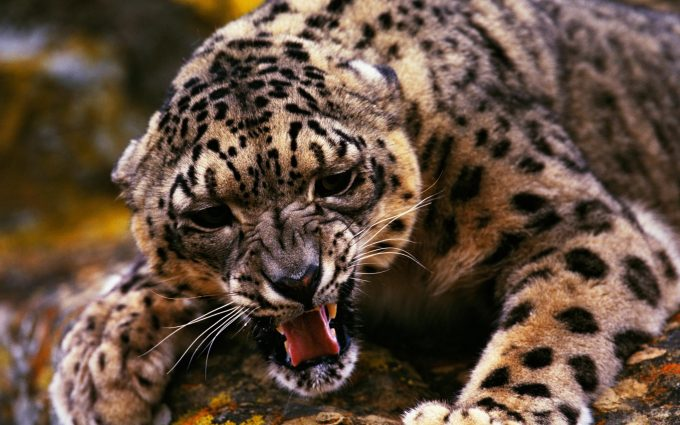 leopard pictures hd