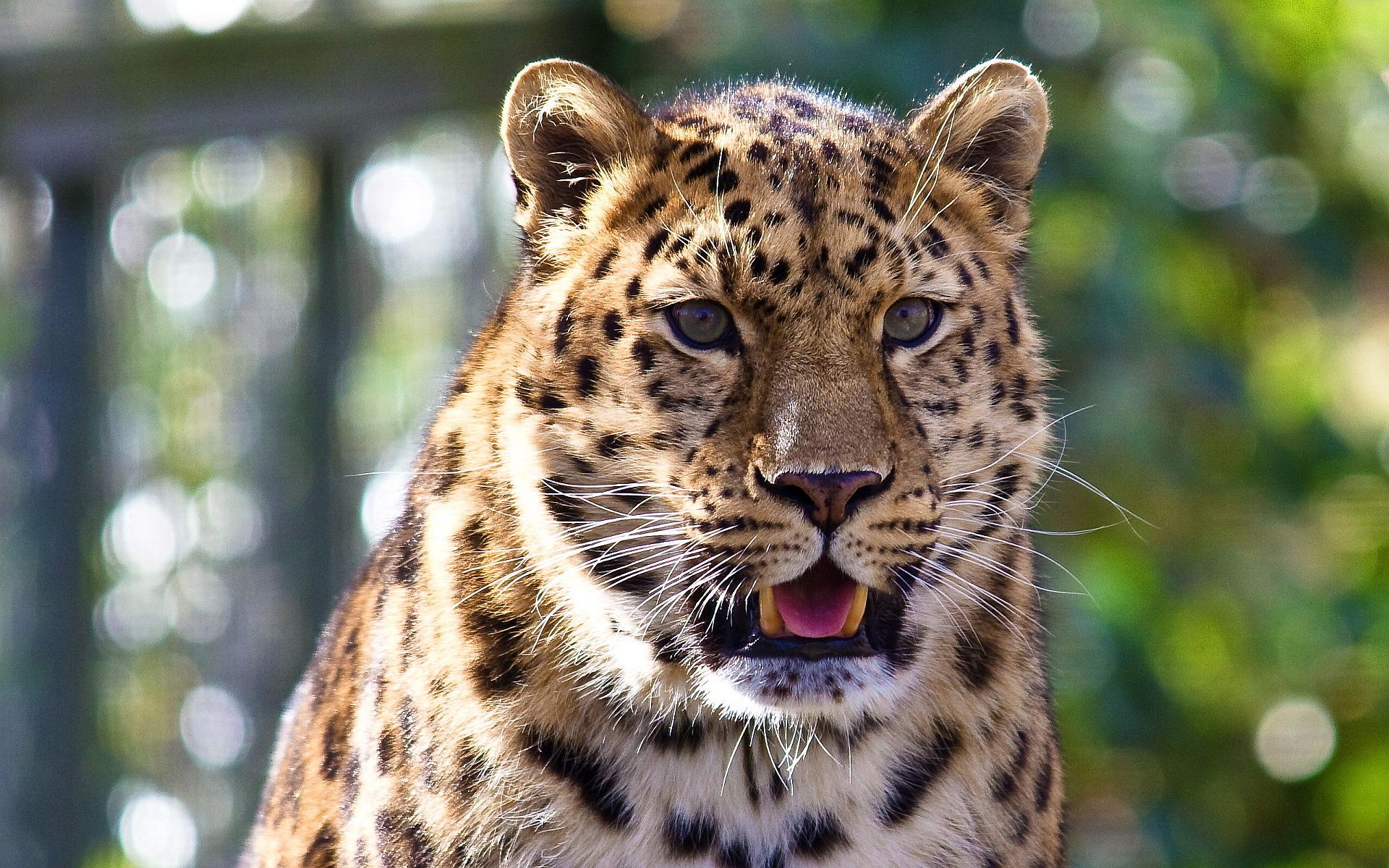 leopard pictures
