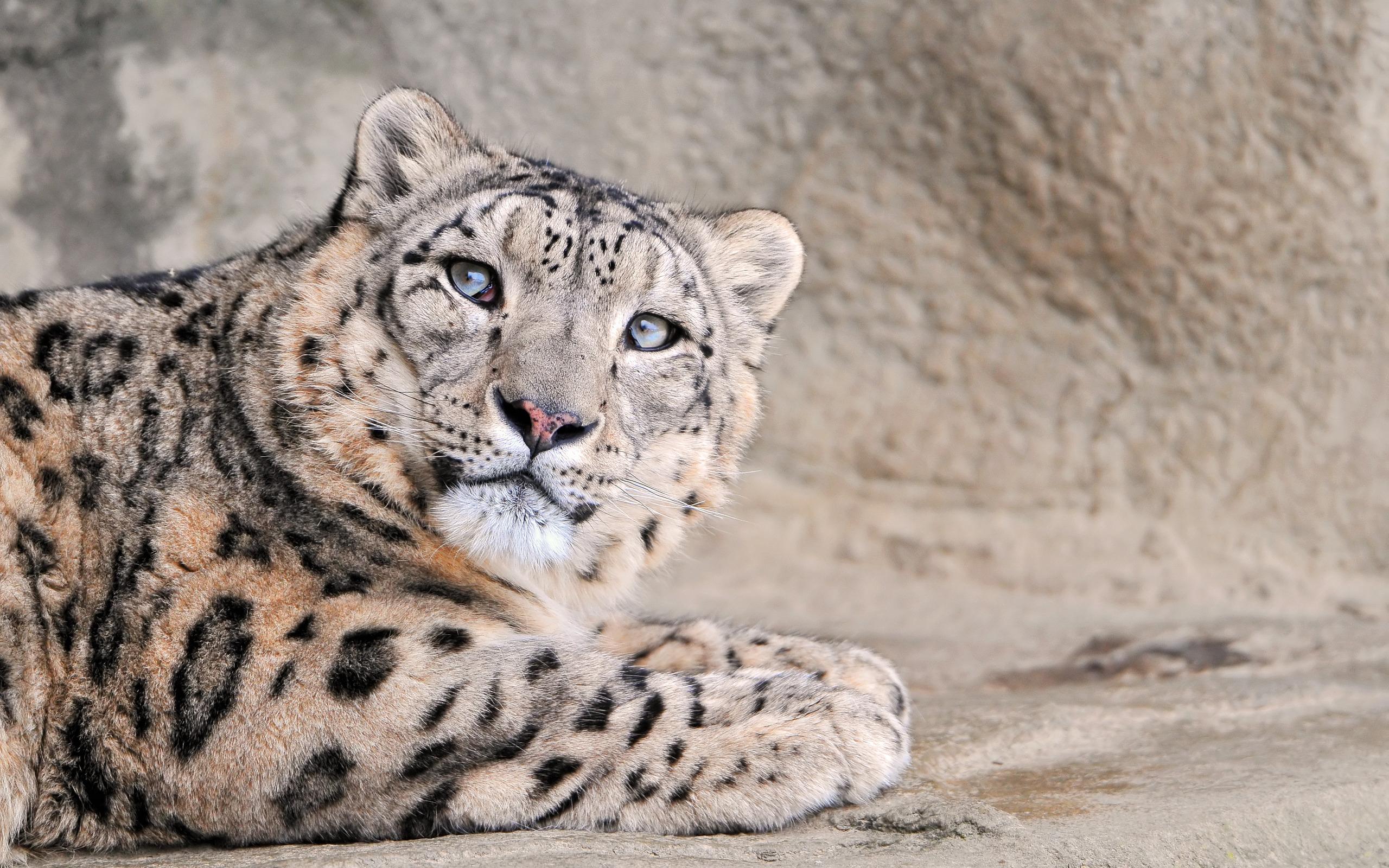 leopard print hd wallpaper