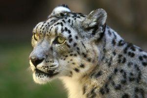 leopard wallpaper 1080p
