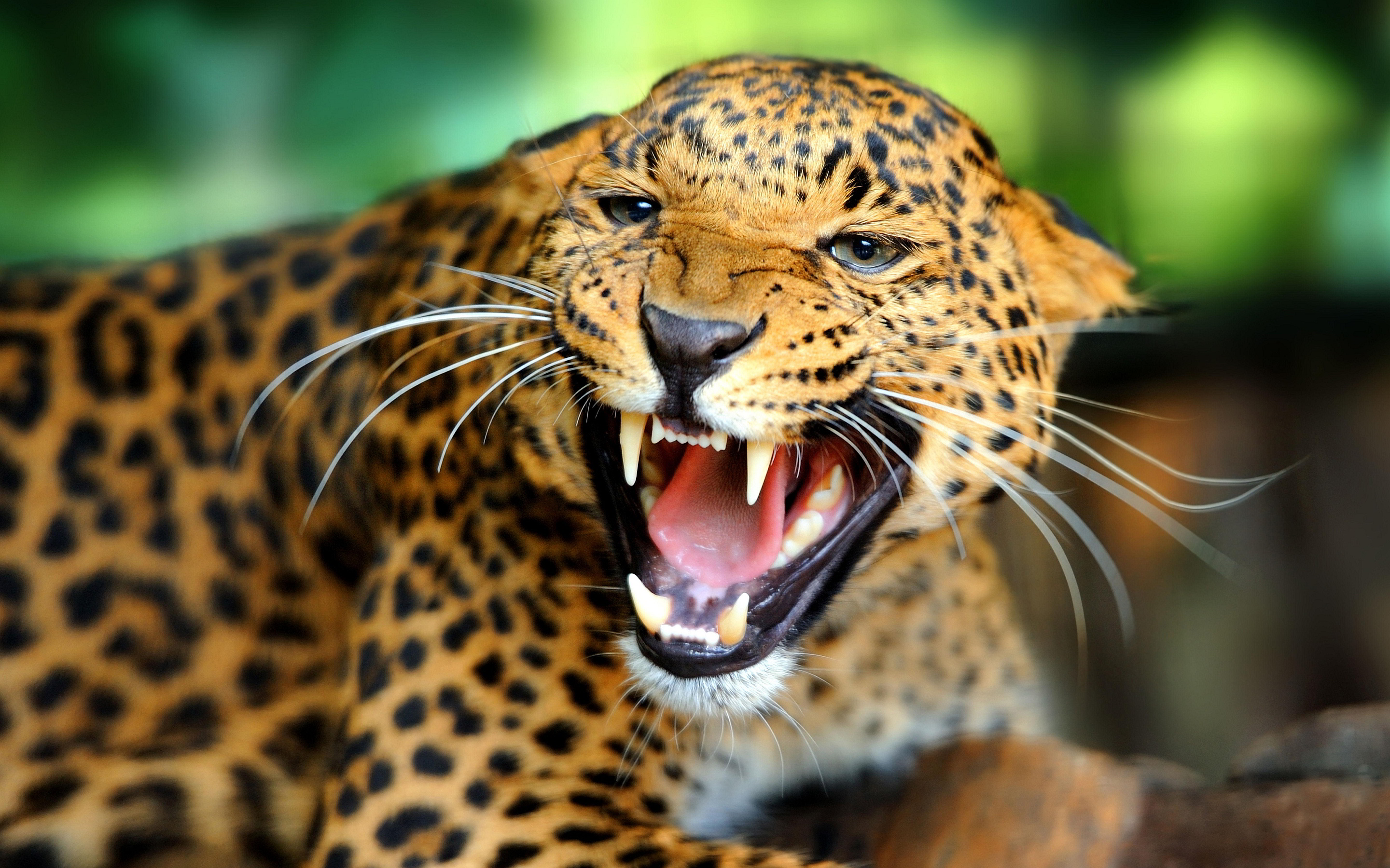 leopard wallpaper angry