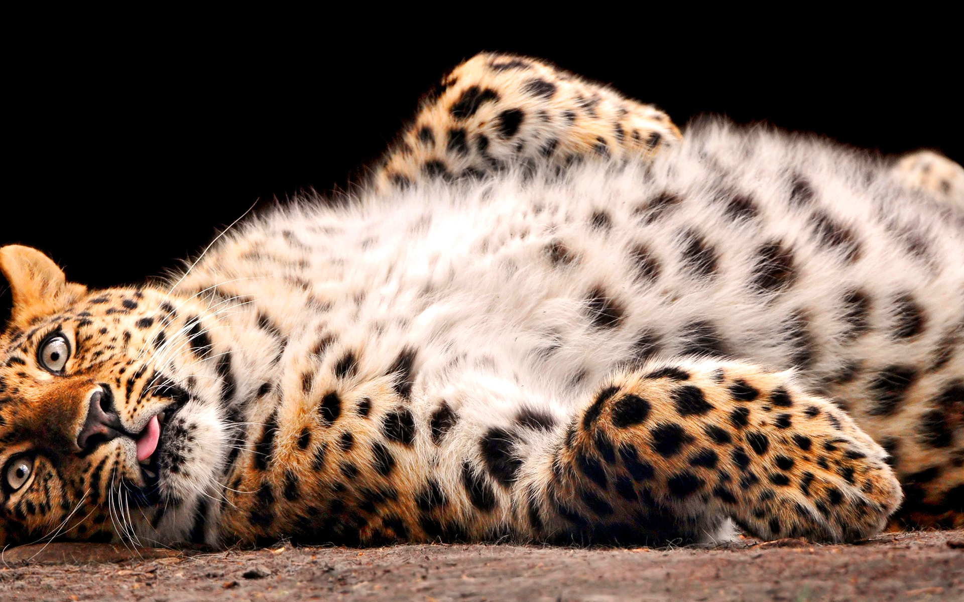 leopard wallpaper beautiful