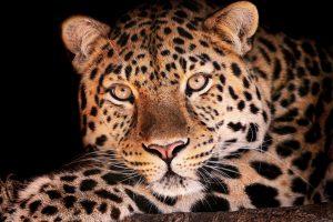 leopard wallpaper border