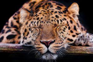 leopard wallpaper cool