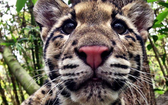 leopard wallpaper cub