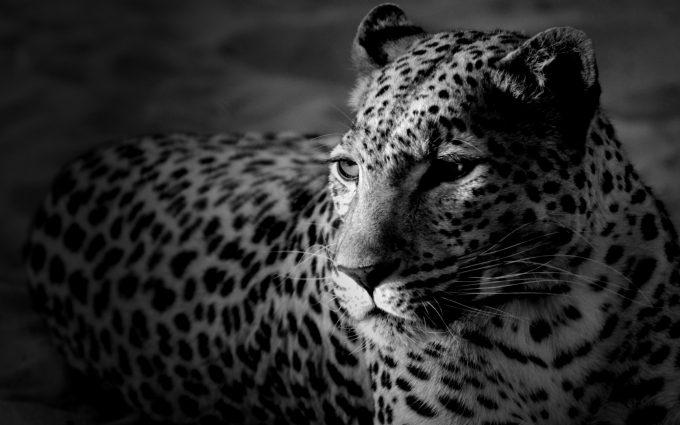 leopard wallpaper download