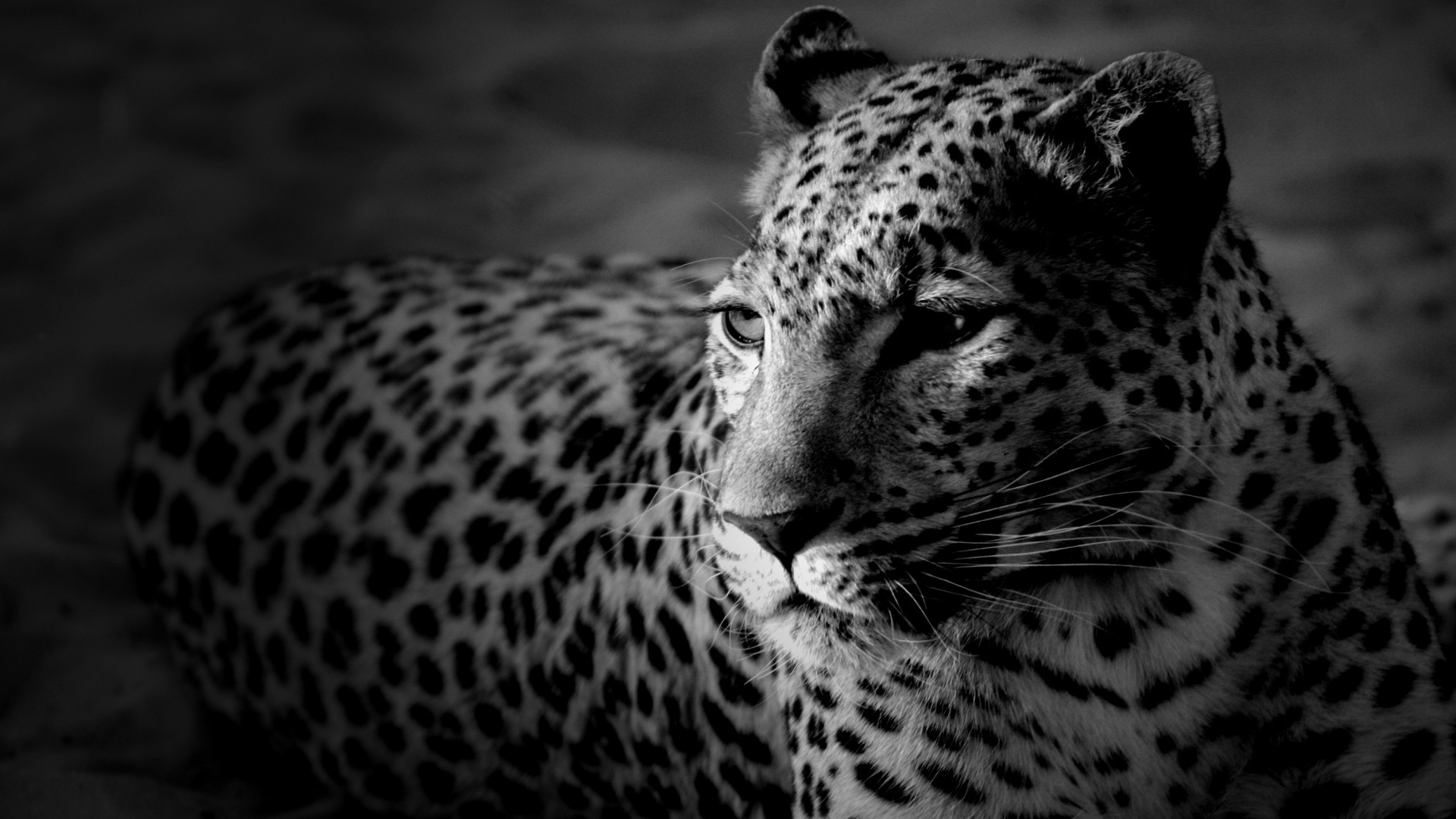 leopard wallpaper download