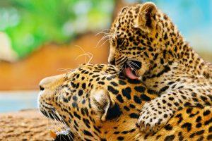 leopard wallpaper love family