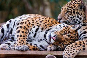 leopard wallpaper lvoe family