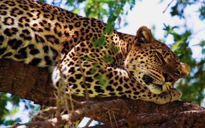leopard wallpaper mobile