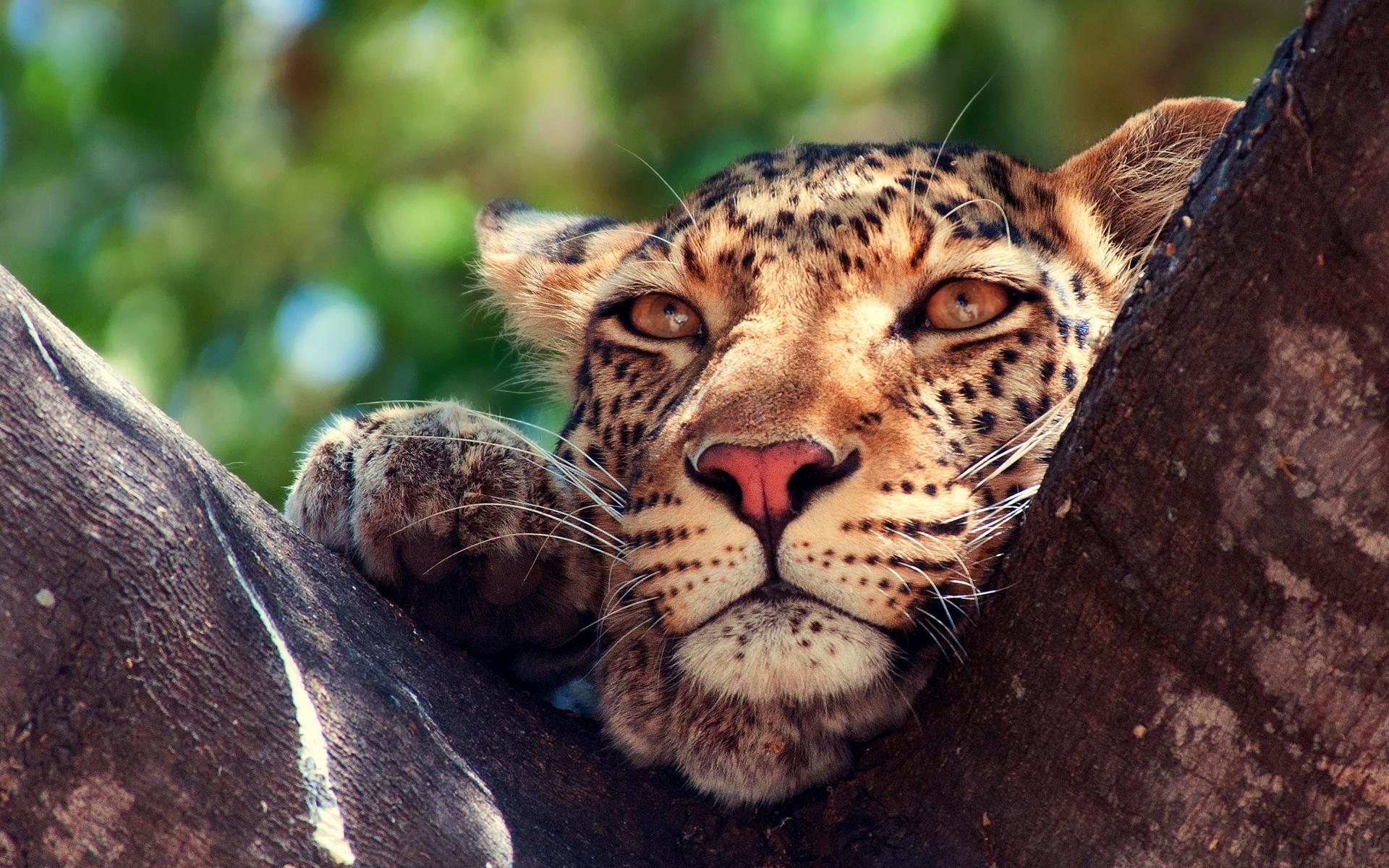 leopard wallpaper nature