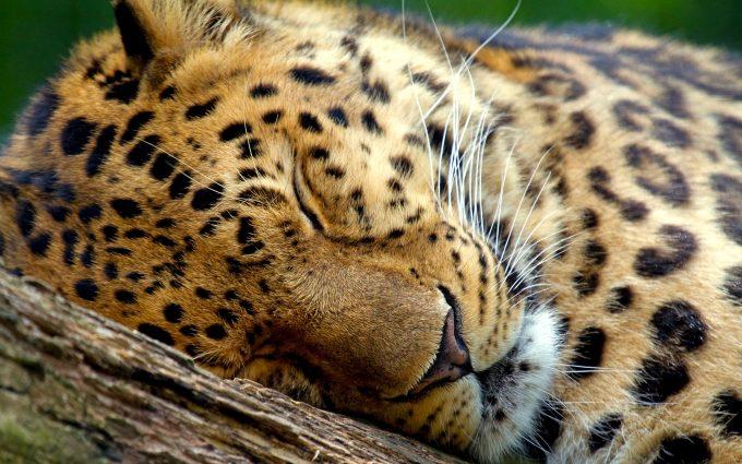 leopard wallpaper phone