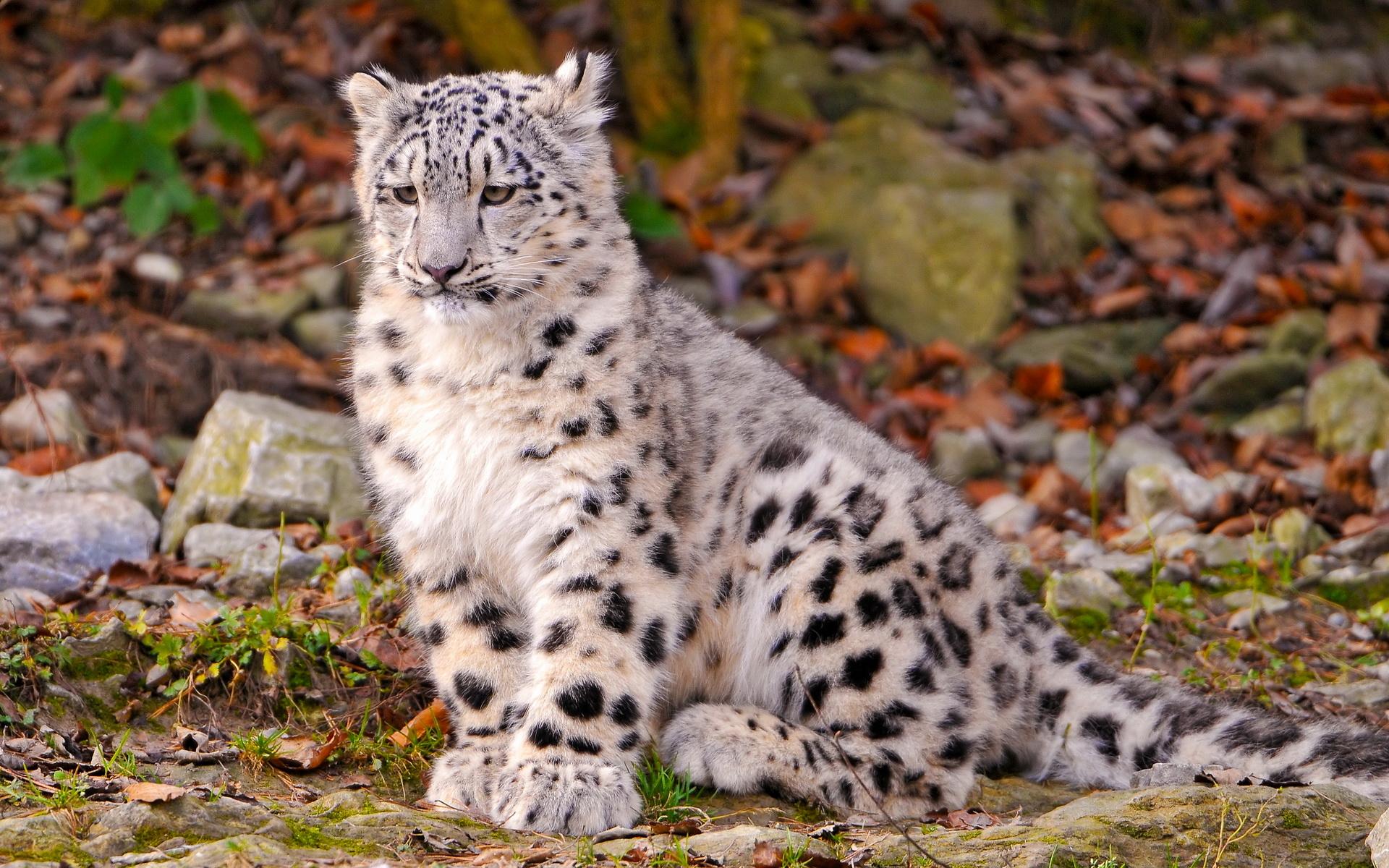 leopard wallpapers 1080p