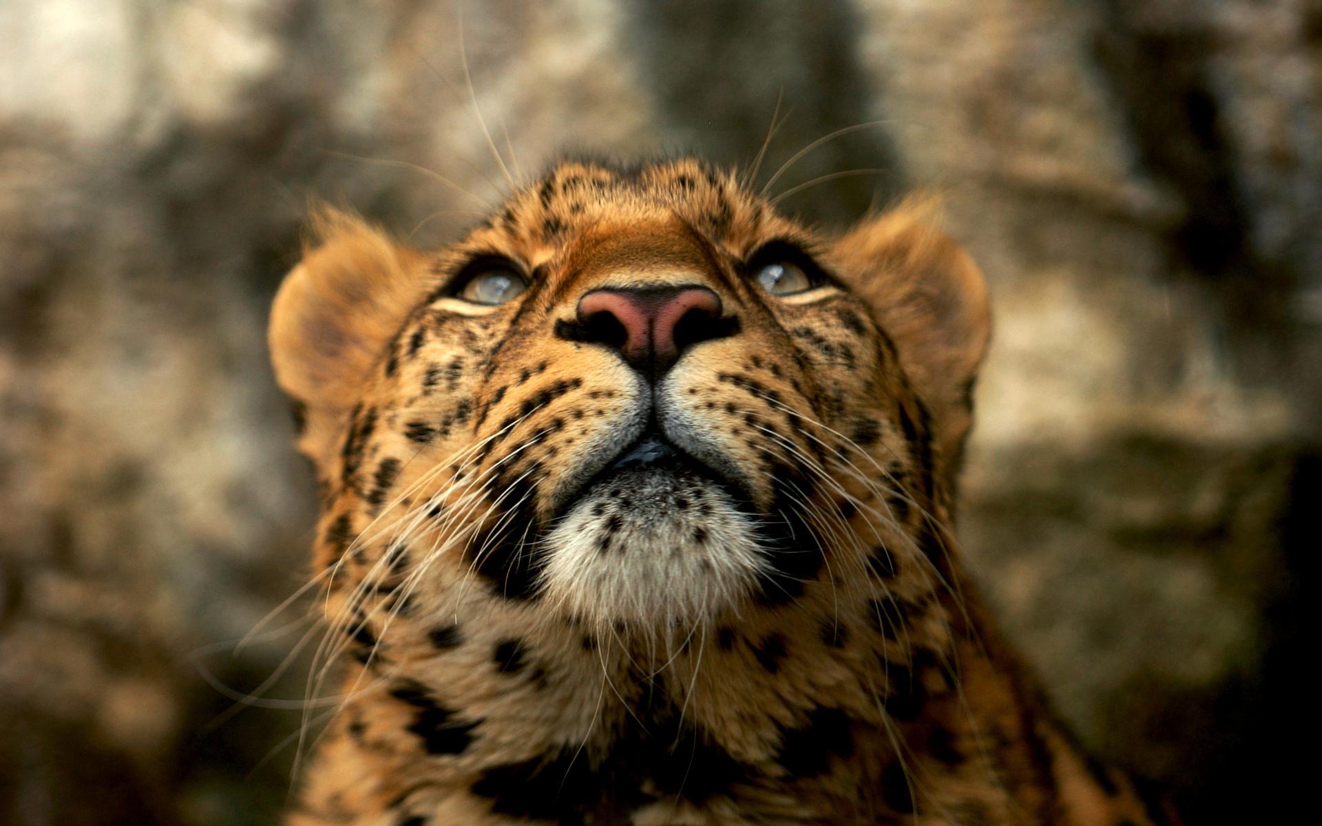 Leopard 4k Black Background Hd Animals 4k Wallpapers: Leopard Wallpapers - HD Desktop Wallpapers