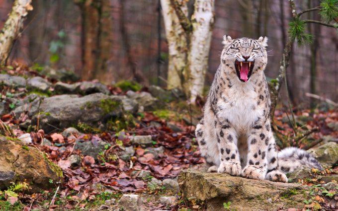 leopard wild