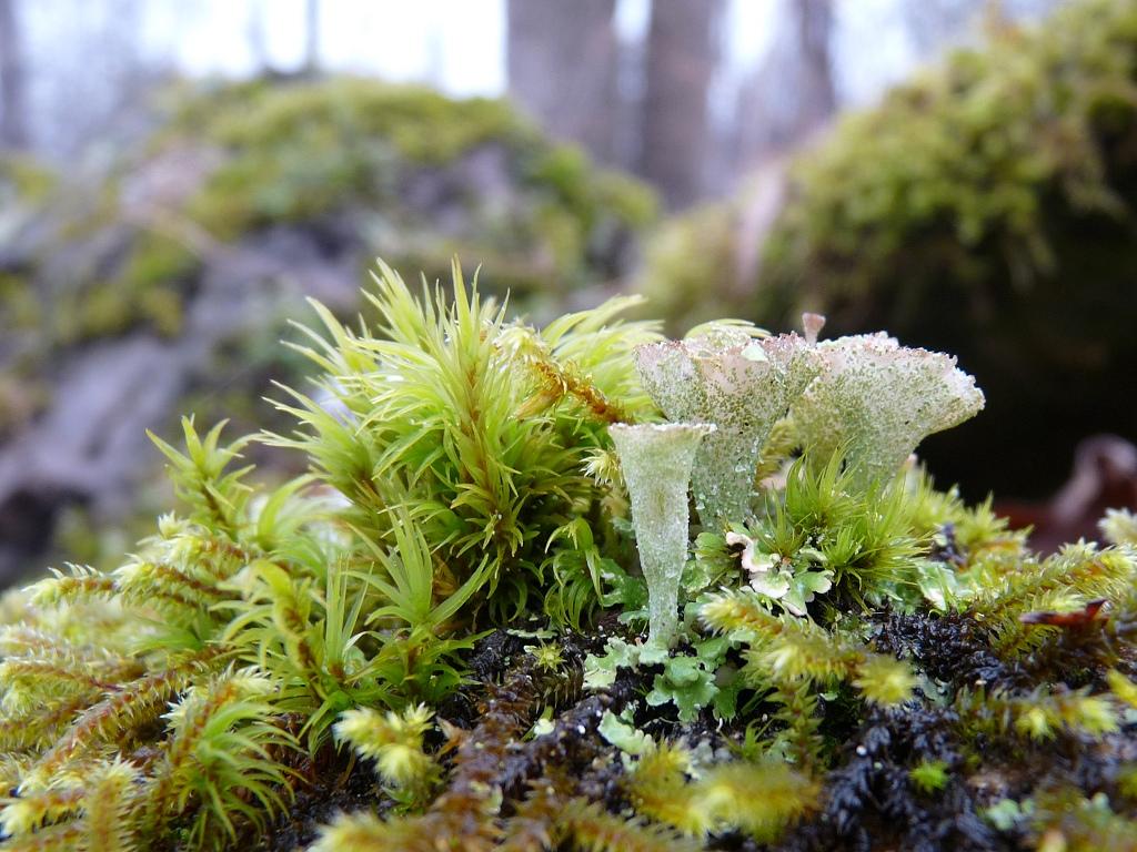 lichen hd