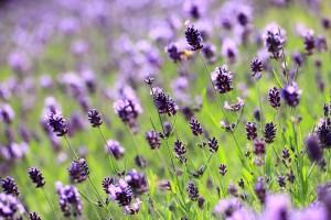lilac lavender field