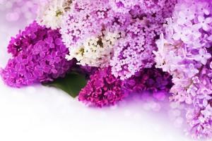 lilac purple flower