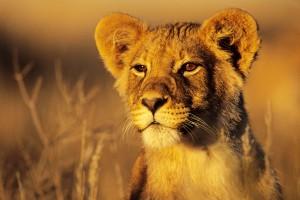 lion background images