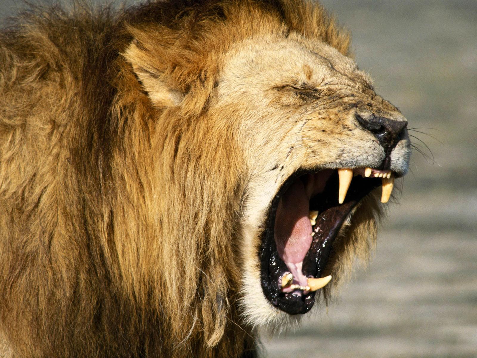 lion backgrounds