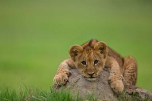 lion cub A1