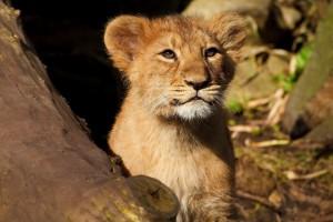 lion cub forest