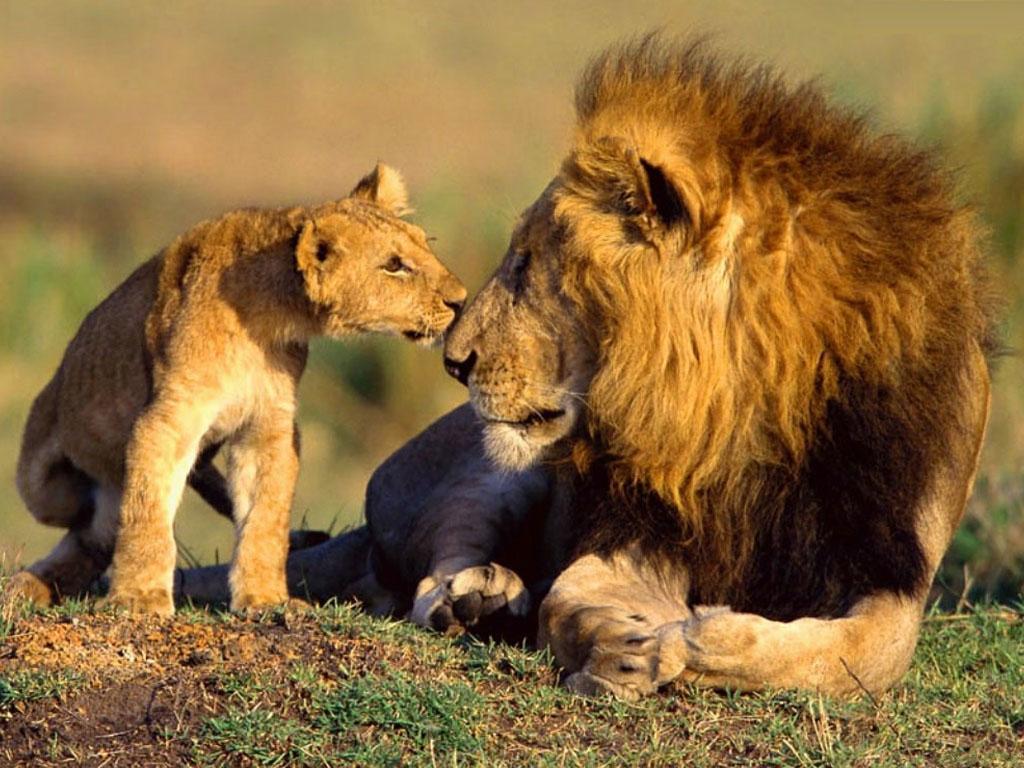 lion cub hd wallpaper