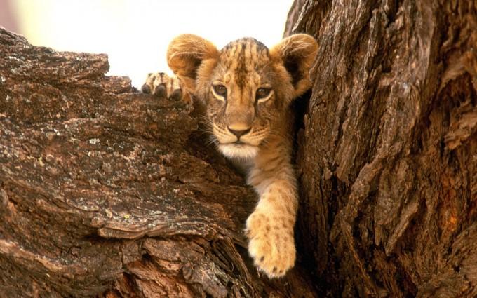 lion cub images