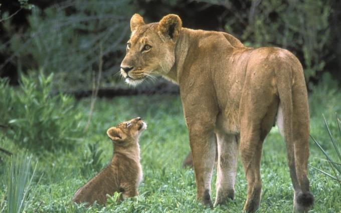 lion cub lioness