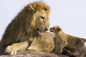 lion cub love