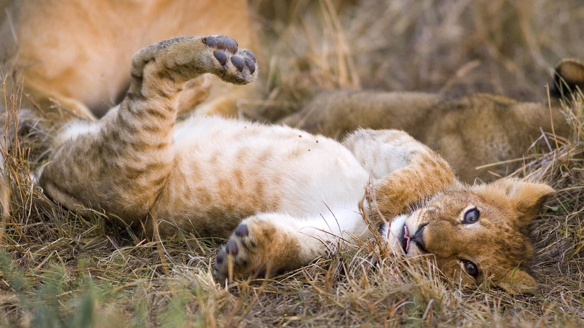 lion cub wallpaper adorable