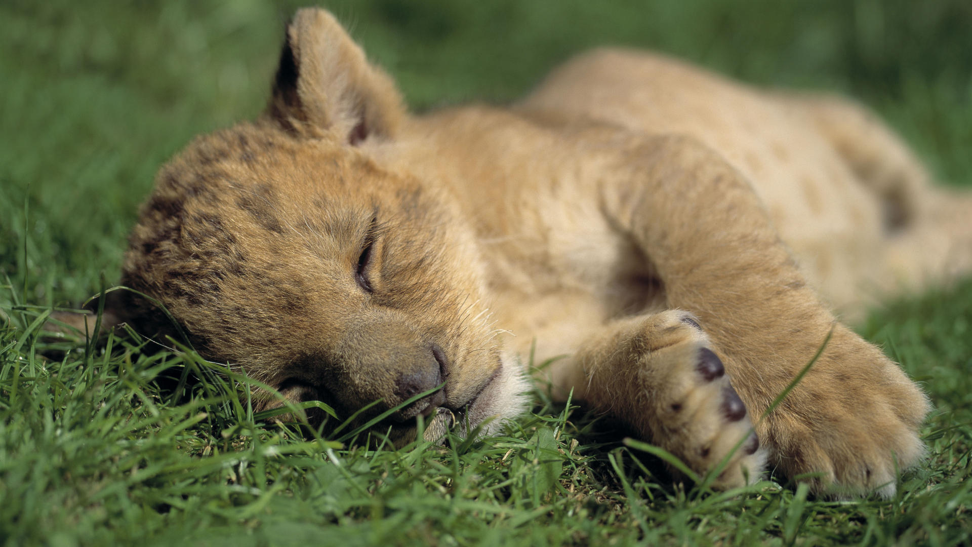 lion cub wallpaper cute
