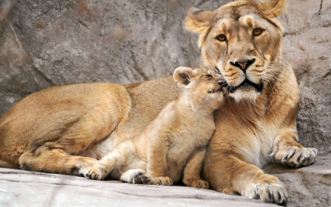 lion cub wallpaper family