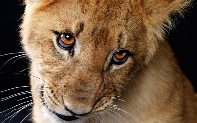 lion cub wallpaper funny