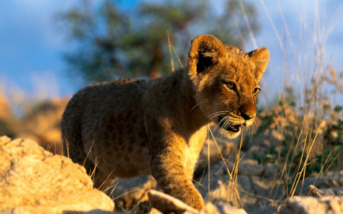 lion cub wallpaper wild