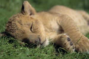 lion cubs wallpaper