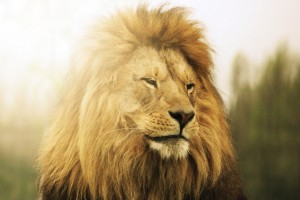 lion face hd