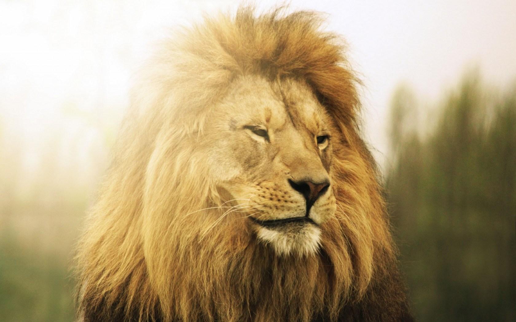 lion face hd