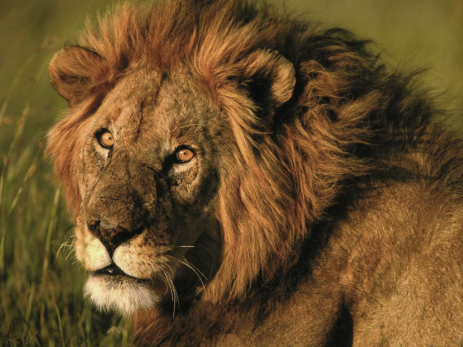 lion hd photo