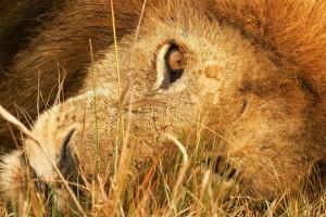 lion hd photos