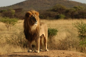 lion images download