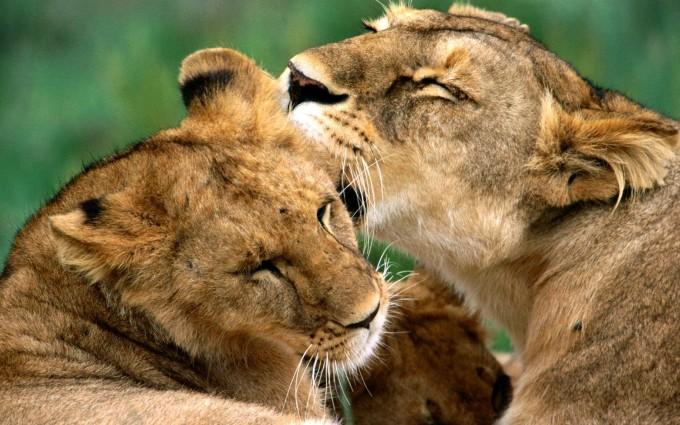 lion screensaver